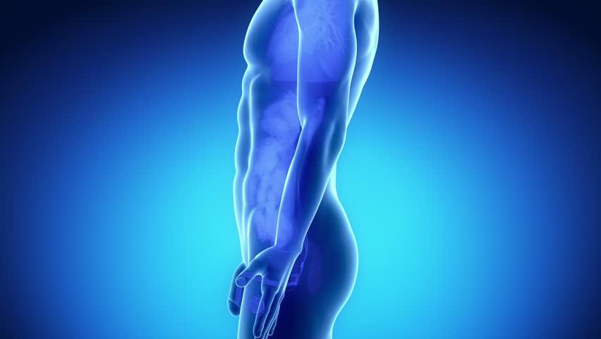 Male reproductive organs - HD stock video clip