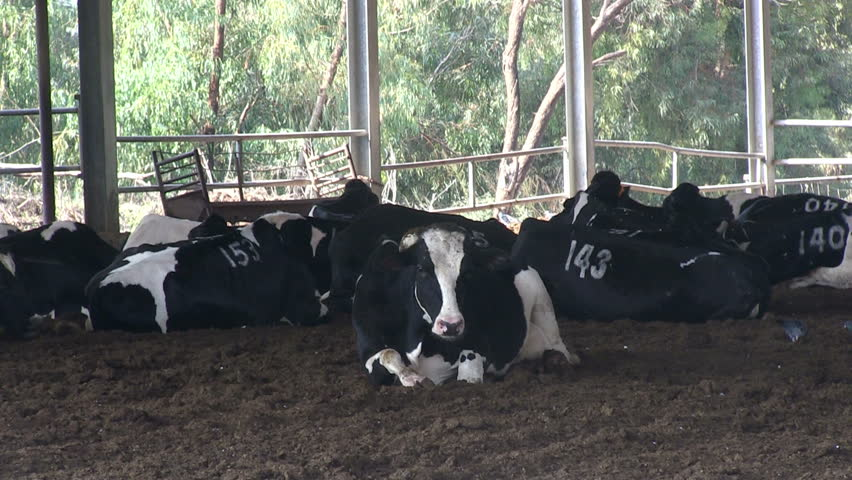 Cows grazing at farm