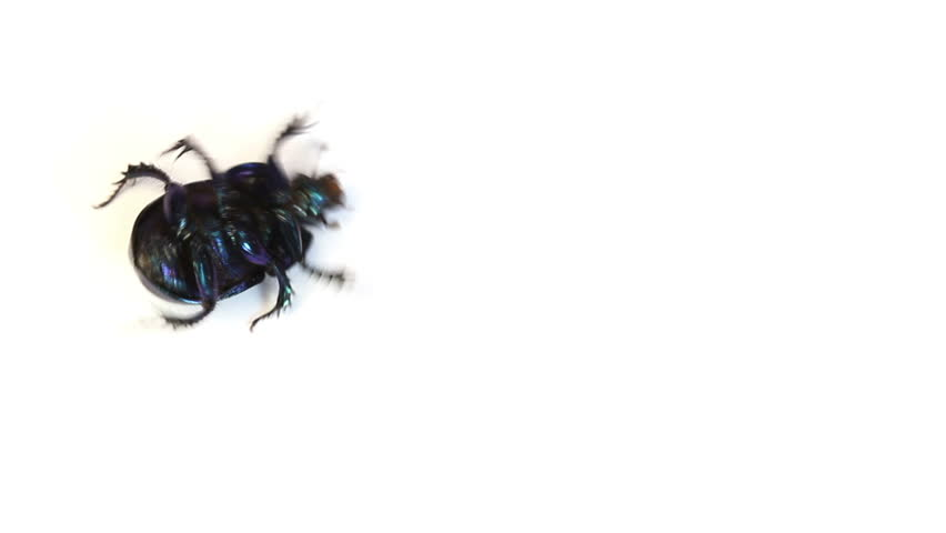 Dung-beetle closeup  on a white background - HD stock video clip