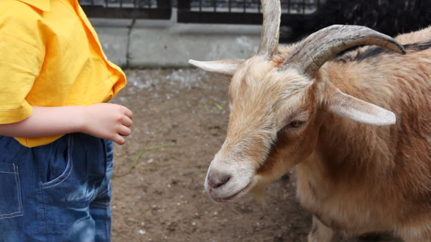 little boy in yellow stand near white goat at village - HD stock video clip