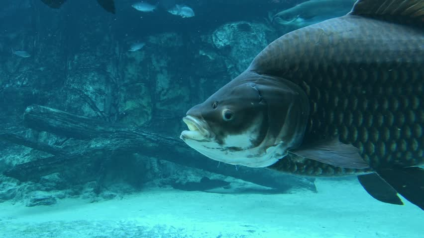 Underwater in 4K UHD video of big carp in a pond