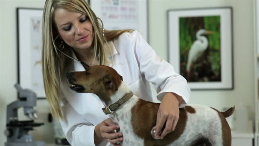 A pretty young veterinarian checks a Jack-Rat Terrier's breathing and heartbeat.