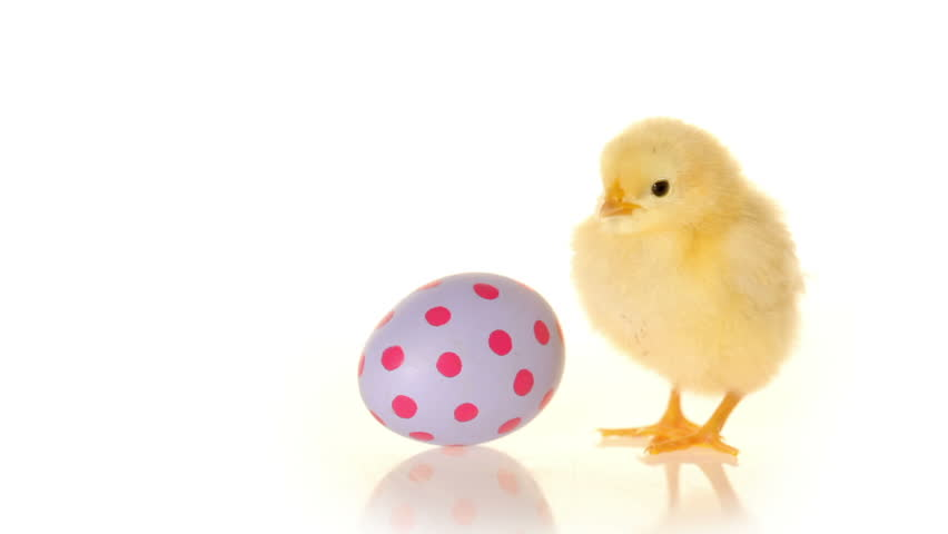 Cinemagraph - Easter egg and baby chick. Looping Motion Photo.