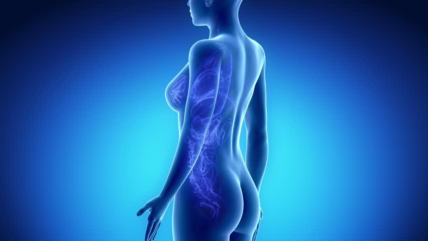 Female KIDNEY anatomy in blue x-ray loop - HD stock video clip