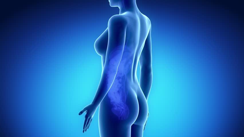 Female UROGENITAL ORGANS anatomy in blue x-ray loop - HD stock video clip
