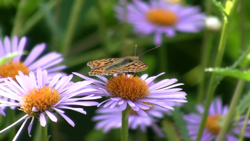 Butterfly to drink nectar with flower  - HD stock footage clip