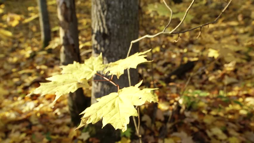Maple Sapling in Ontario forest 3