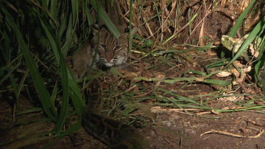 Bobcat attacks Python