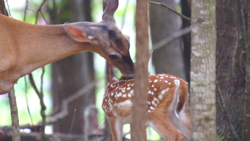 Whitetail Deer (Odocoileus virginianus) fawn being cleaned by it's mother. - HD stock video clip