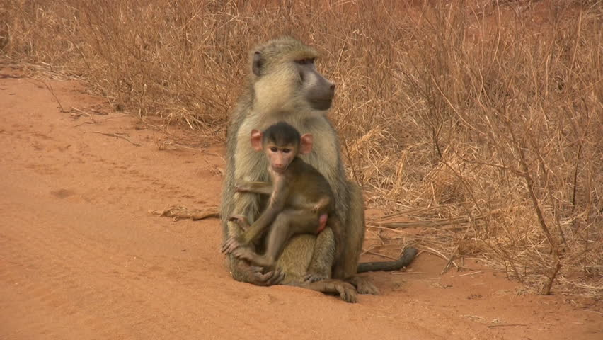 Baboon mother with her baby - HD stock footage clip