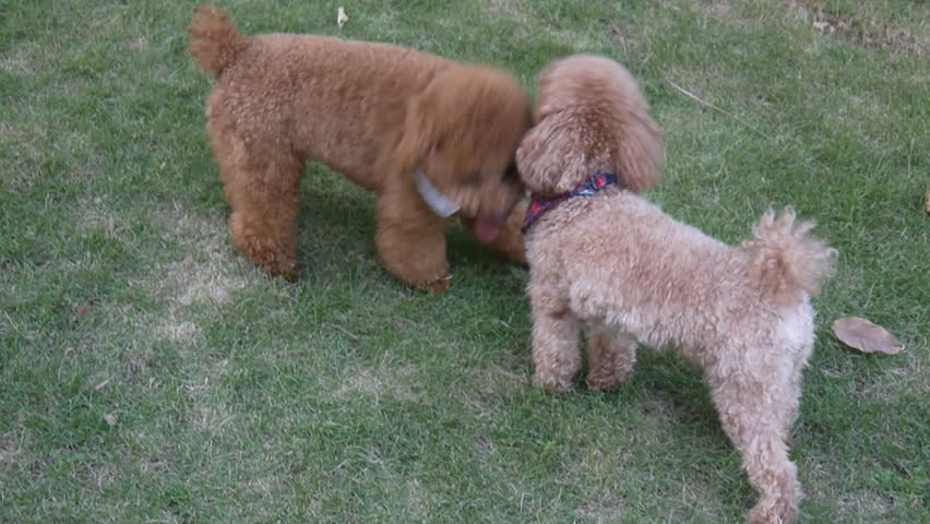 Two poodle dogs playing together on the lawn - HD stock footage clip