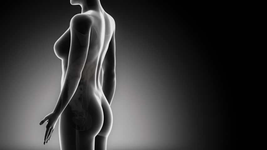 Female KIDNEY anatomy in detail x-ray loop - HD stock footage clip