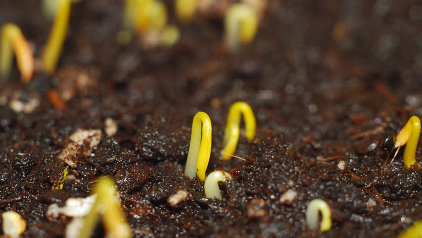 Growing plant. Timelapse  hd video. - HD stock video clip