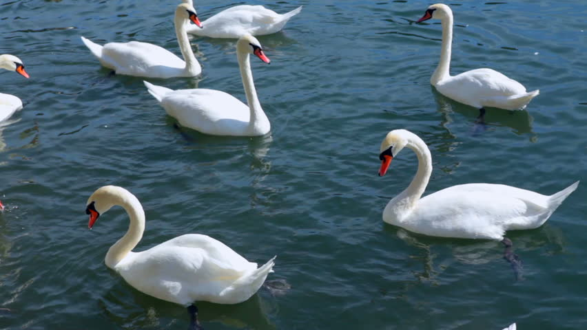 Big and beautiful swan family swimming on a lake, HD1080p. - HD stock footage clip