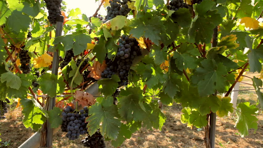 Autumn in vineyard full of ripe grapes, ready for harvest HD1080p. - HD stock footage clip