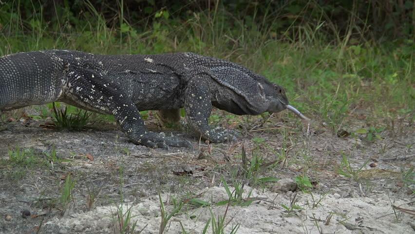Monitor (lizard) Walking