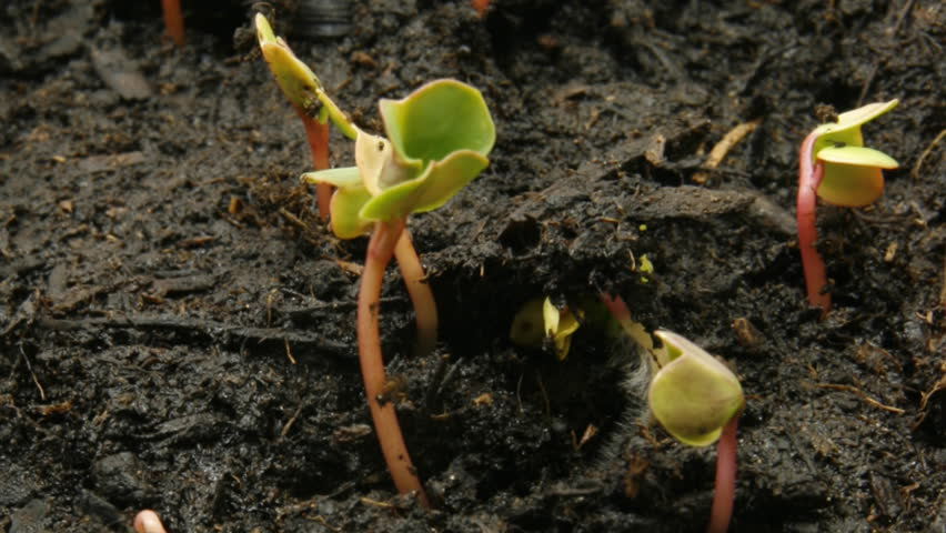 timelapse of radish seeds, part II of II - HD stock footage clip
