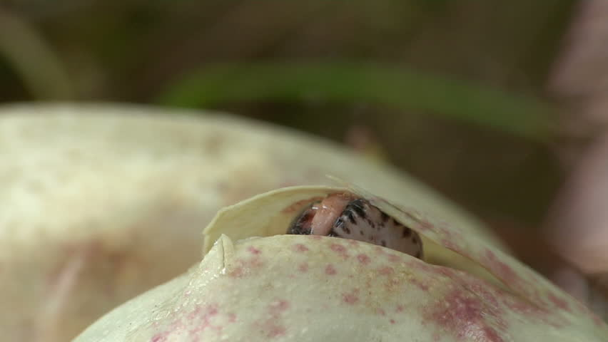 Pythons Hatching - HD stock footage clip