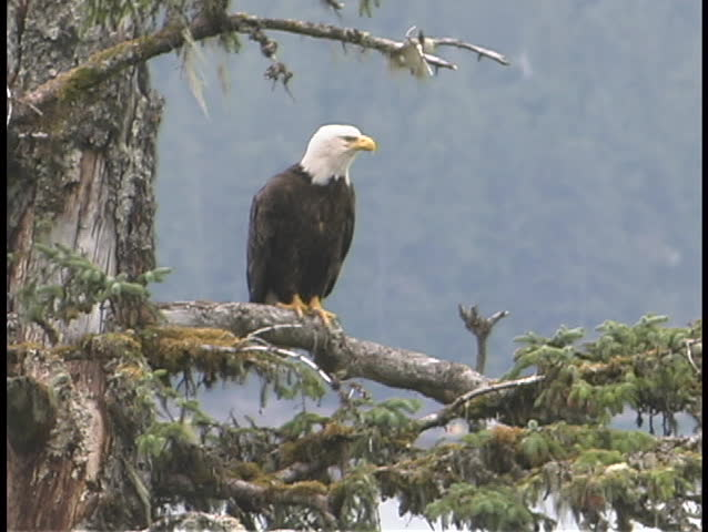 An American bald eagle perches in a pine tree. - SD stock video clip