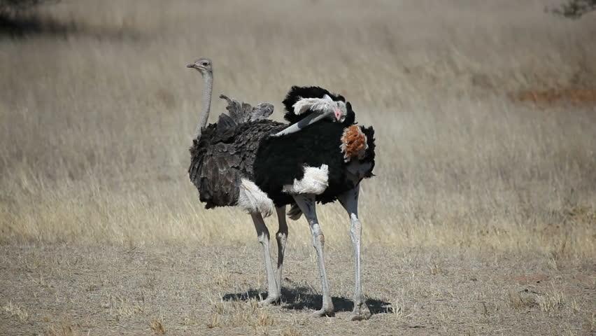 birds desert ostrich hd - photo #6
