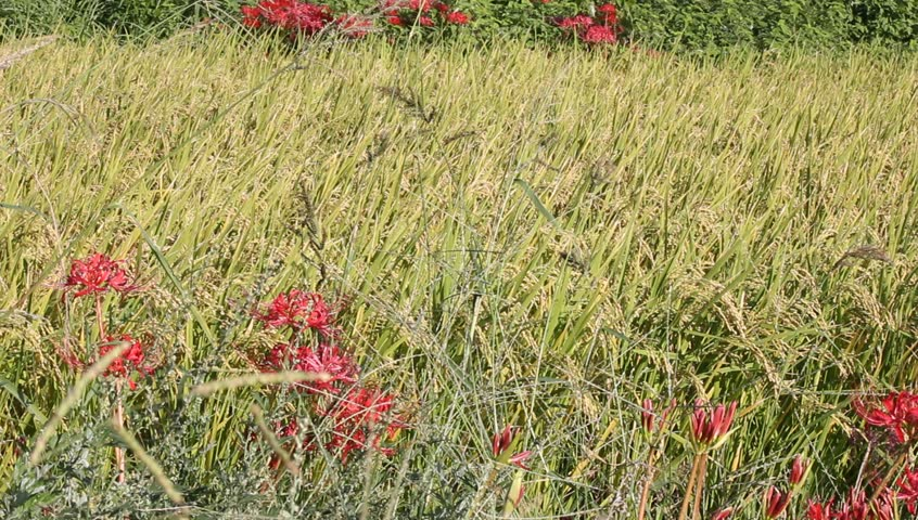 Red amaryllis and rice field - HD stock video clip