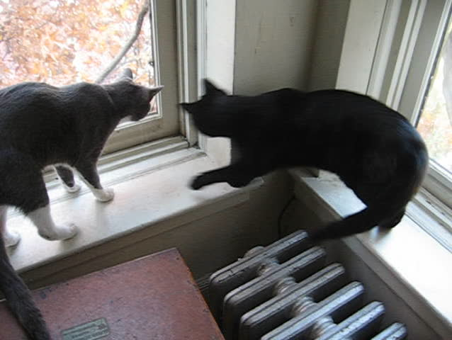 Cats at the window - SD stock video clip
