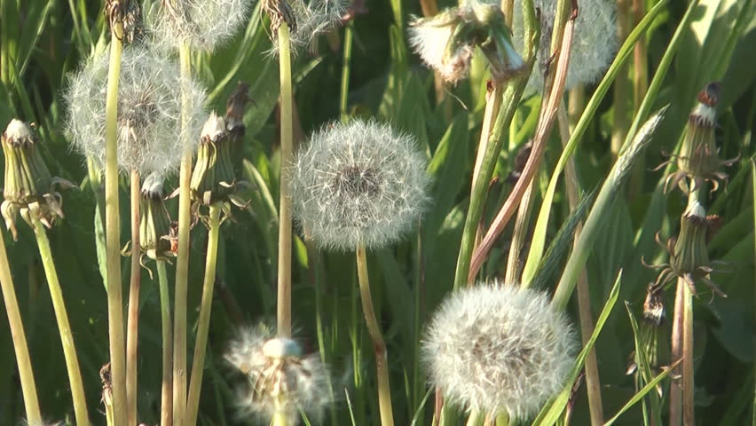 Fluffy dandelion on a wind a close up. - HD stock video clip
