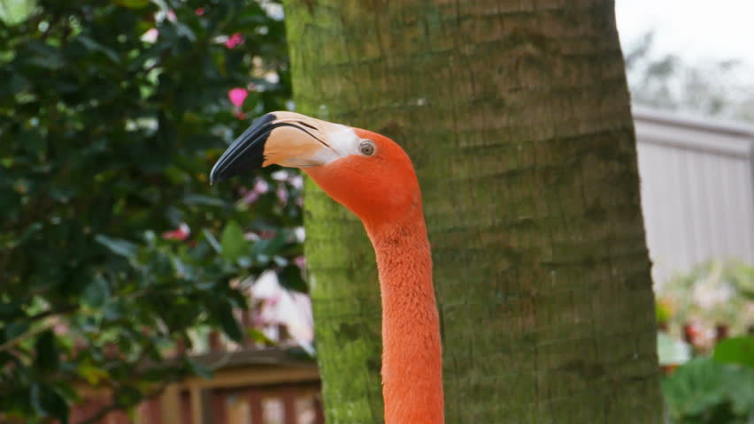 Flamingo Pink Looking Around Close Up - 4K stock footage clip