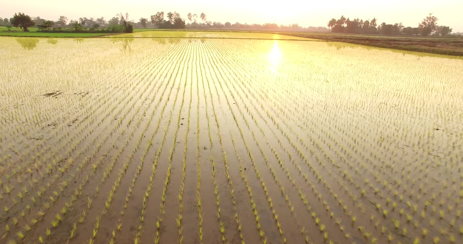 An aerial 4k, 25 fps video of a green and irrigated paddy field with rows of rice sprouts and beautiful sun ray reflected from the water in the field