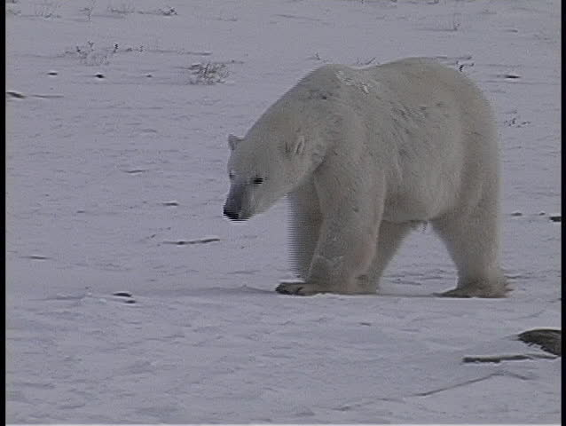 Pan to a lone polar bear walking and sniffing the icy ground in Churchill, Alaska.