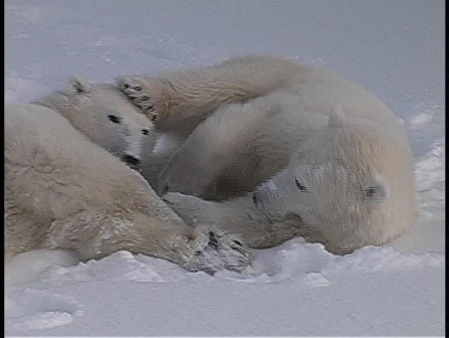 polar bears roll and tussle in a snow-covered wilderness in Churchill, Alaska.