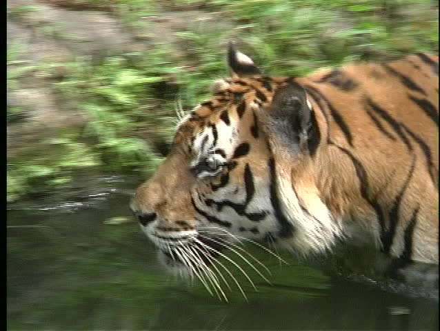 the term paper tiger Essay the siberian tiger the siberian tiger, sometimes referred to as the manchurian tiger, is an endothermic quadruped in the kingdom of animalia it's.