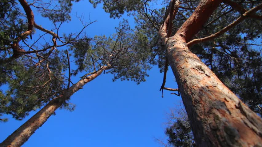 Tall spring pine trees with green needles and light brown bark in a park on a sunny day, clear blue sky background. #14490655