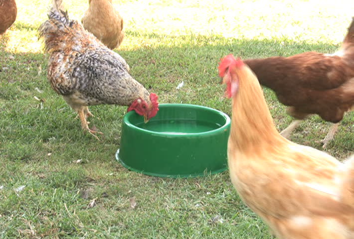 Rooster Drinking Water