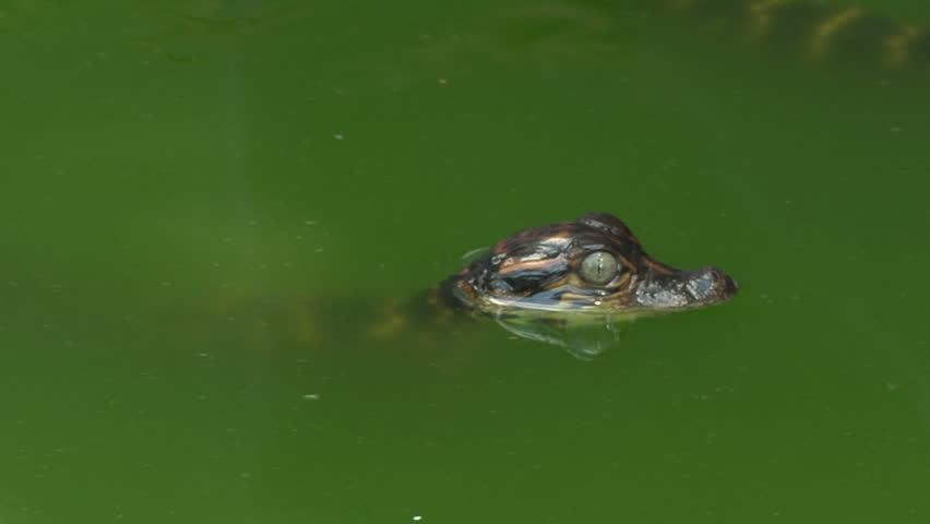 Baby Alligator Swimming - HD stock video clip