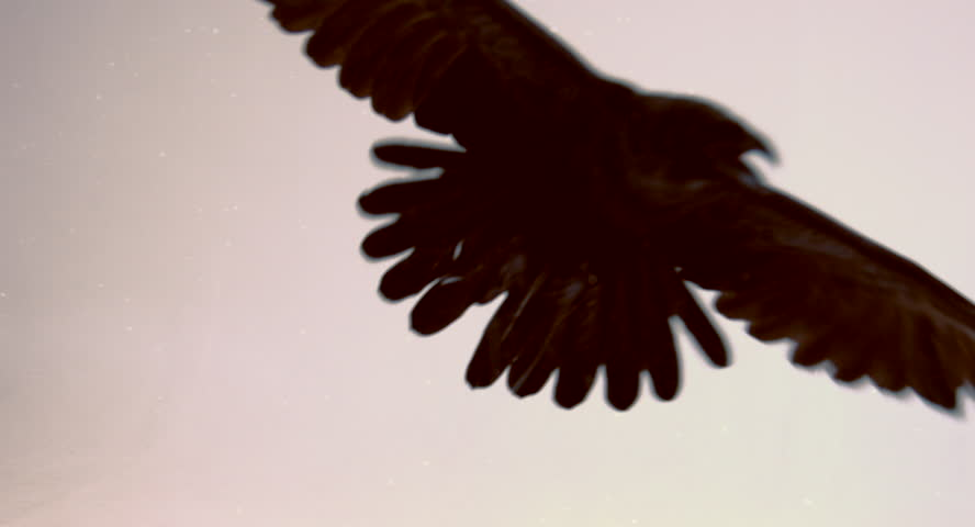 Flight of a black raven on a white background. | Shutterstock HD Video #14548471