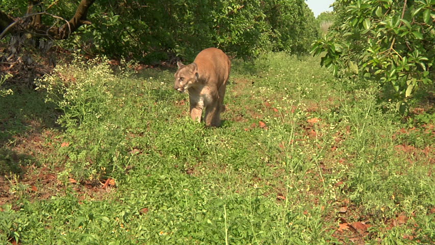 Florida panther walks past camera - HD stock video clip