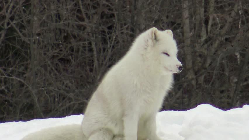 Arctic Fox in a winter setting