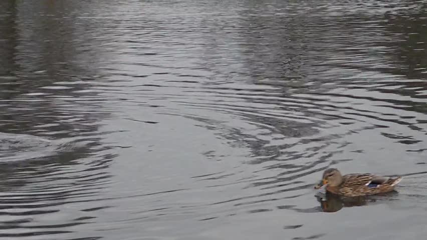 Gator Swimming Through The Water Stock Footage Video 1838002  Shutterstock # Sunshower Lake_065423