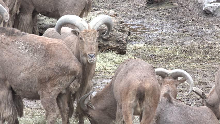 Family of Bighorn Rams. 4K UltraHD, UHD - 4K stock footage clip