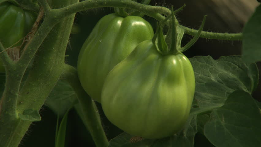 CU SELECTIVE FOCUS Green tomatoes on plant / Venice, Italy - HD stock footage clip