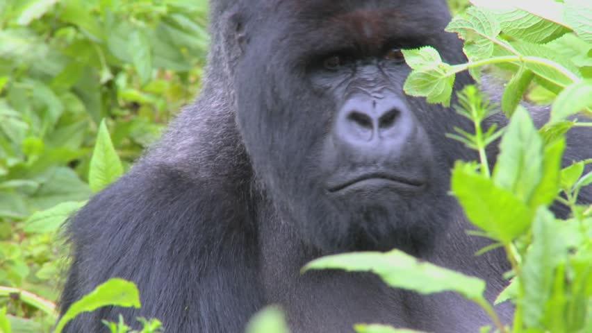 A classic shot of a mountain gorilla in the volcanic mountains of Rwanda.