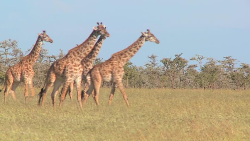 Giraffes walk through golden grasslands in Africa. - HD stock video clip