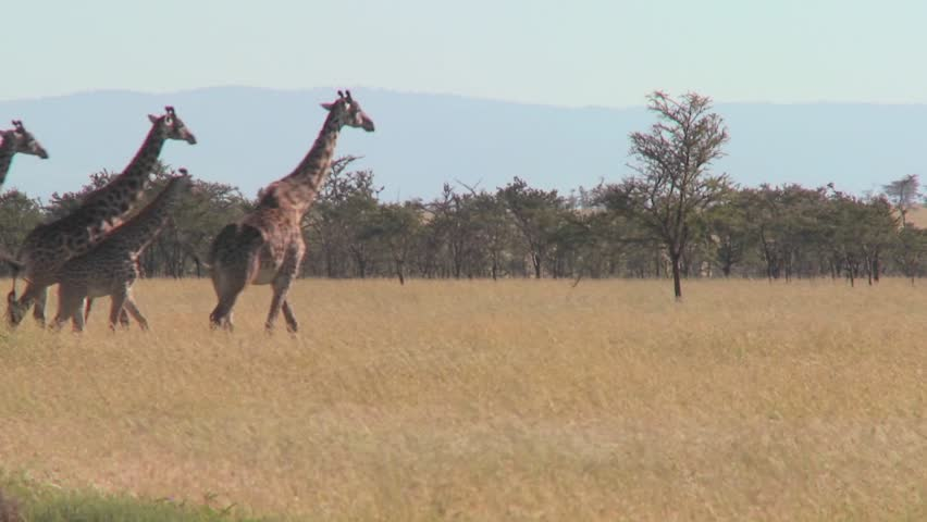 Giraffes walk across the plains of Africa. - HD stock video clip