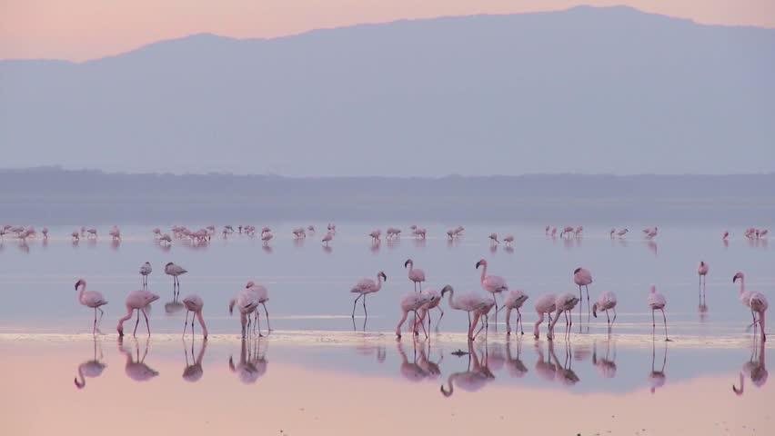 Beautiful footage of pink flamingos in early morning light on Lake Nakuru, Kenya. - HD stock video clip