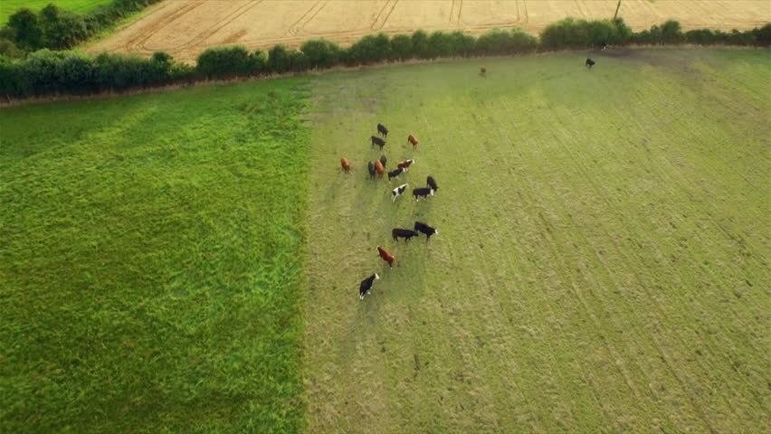 Aerial view of cows in the countryside - 4K stock video clip