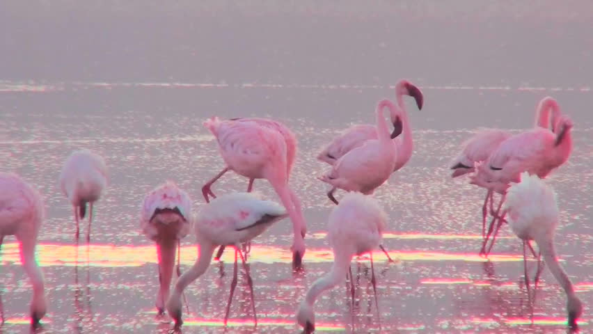 Beautiful footage of pink flamingos in early morning light on Lake Nakuru, Kenya. - HD stock video clip