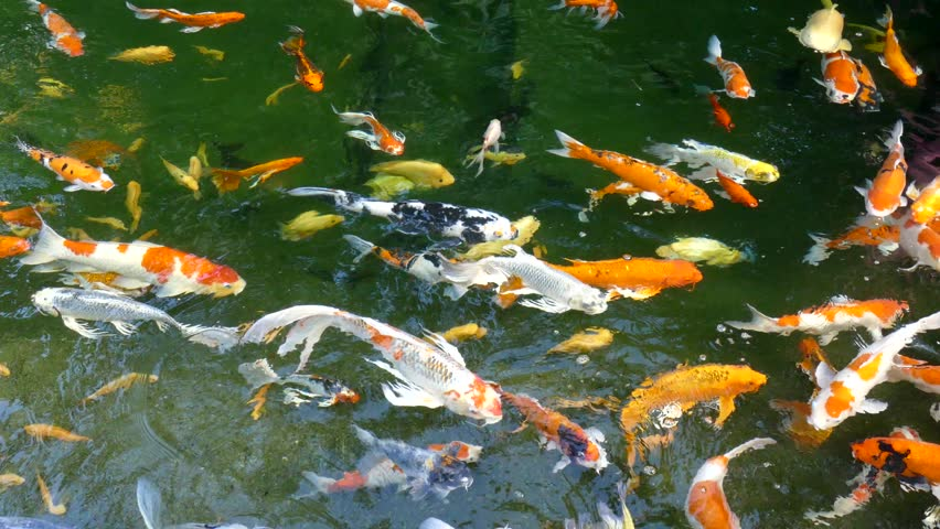 Koi fish stock footage video 3410834 shutterstock for Koi pond hd