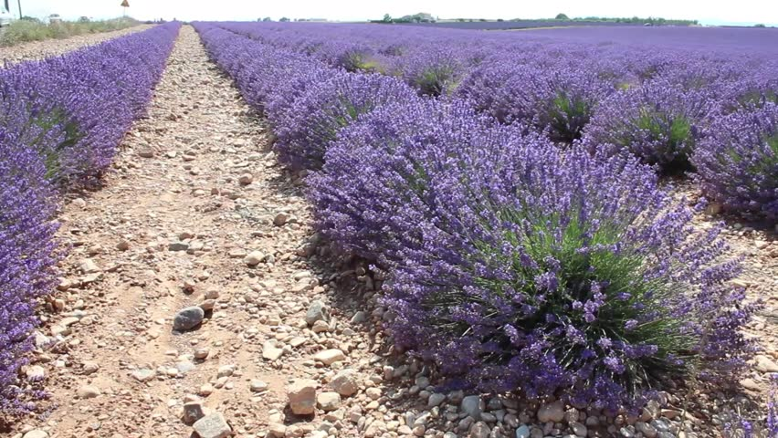 VALENSOLE, FRANCE - CIRCA JULY 2015:  a blooming lavender field in Provence. | Shutterstock HD Video #15118981