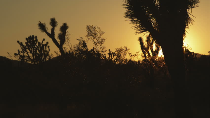 Silhouette of Forest of Joshua Trees   Shutterstock HD Video #1513672